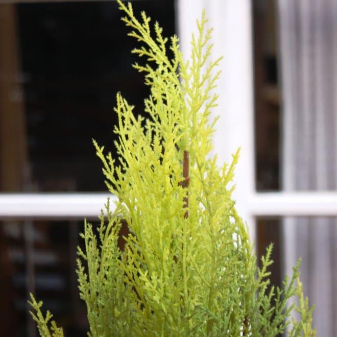 ゴールドクレスト (植物)の画像 p1_7