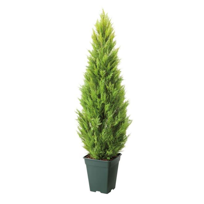 ゴールドクレスト (植物)の画像 p1_18