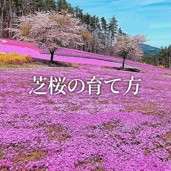 方 育て 芝 桜 【カワヅザクラのまとめ!】育て方(増やし方や剪定)と花言葉等12個のポイント!