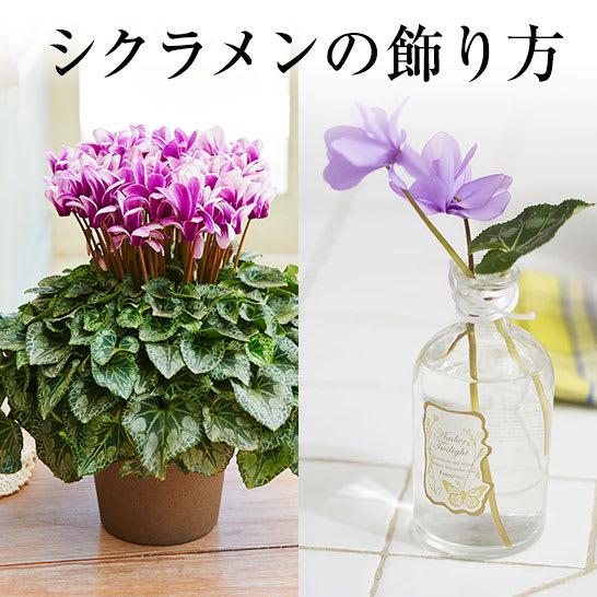 冬の花鉢シクラメンの楽しみ方