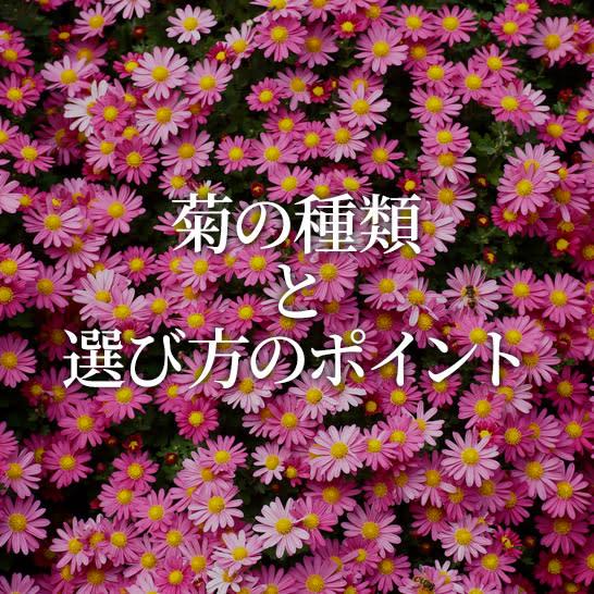 菊の種類と選び方のポイント