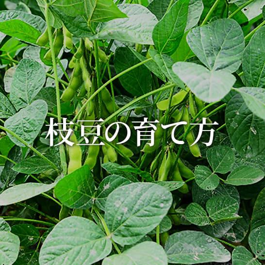 枝豆の育て方・栽培方法 植え方やお手入れのコツやポイントまで。