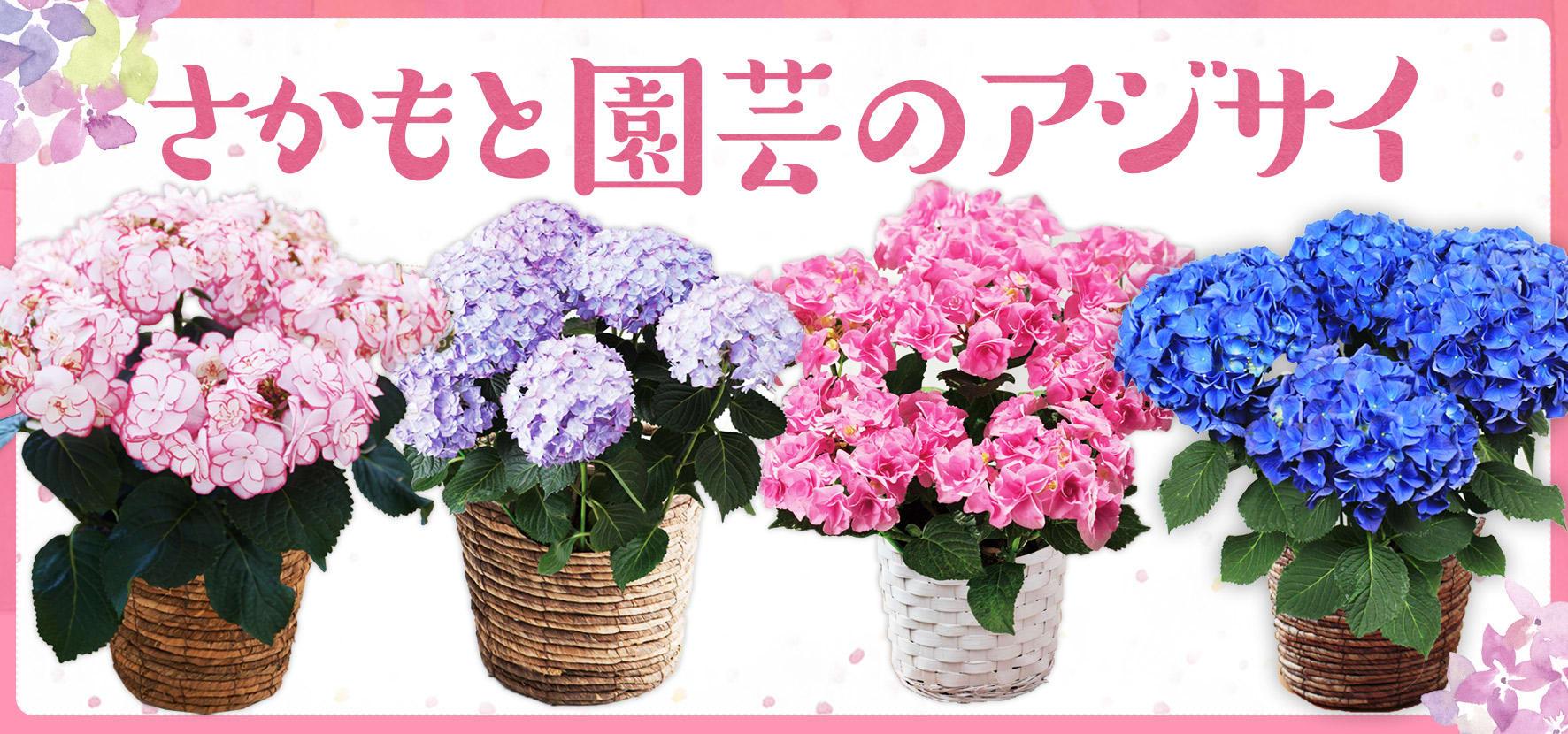母の日ギフトに!さかもと園芸のアジサイ KEIKO