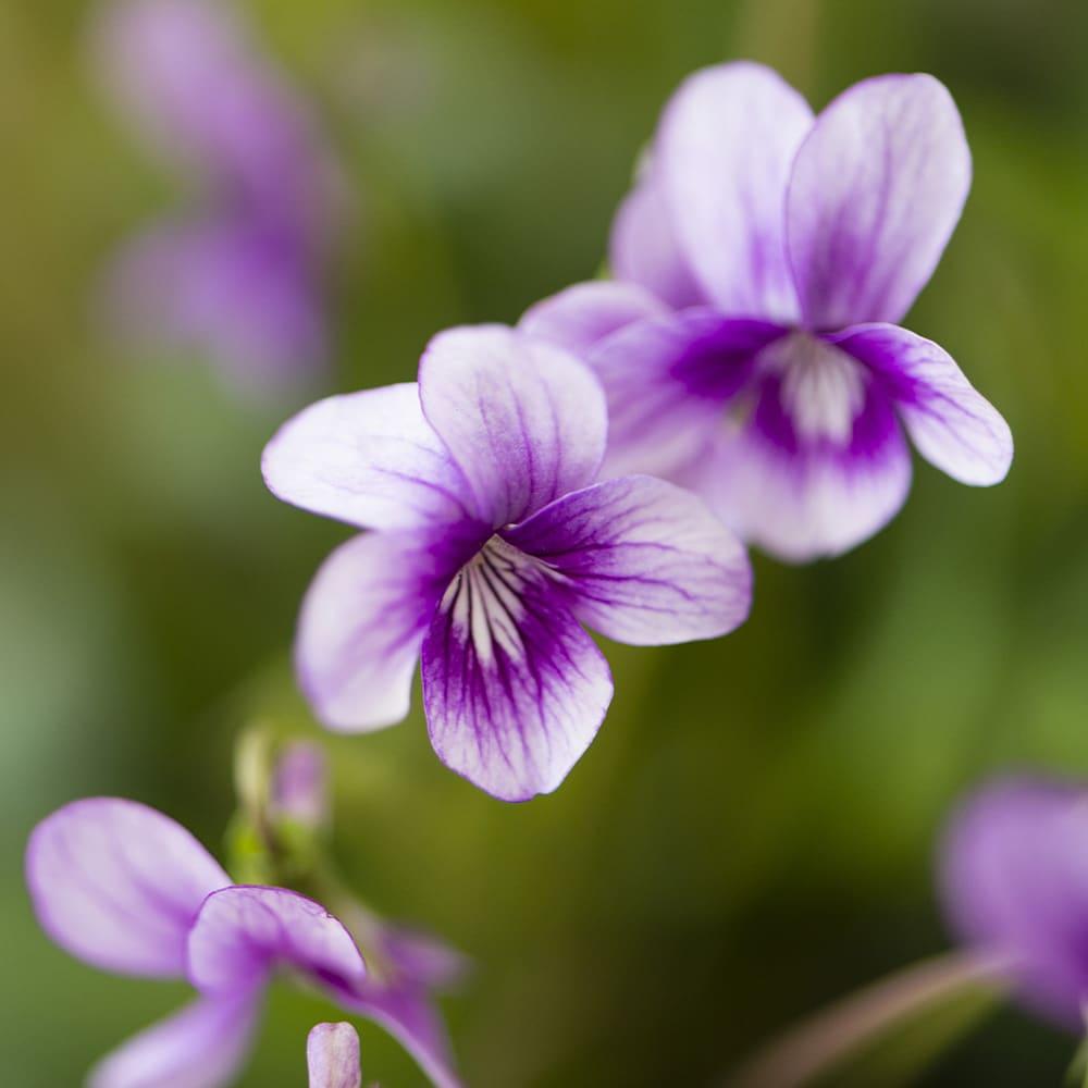 展示会で見たすみれの花