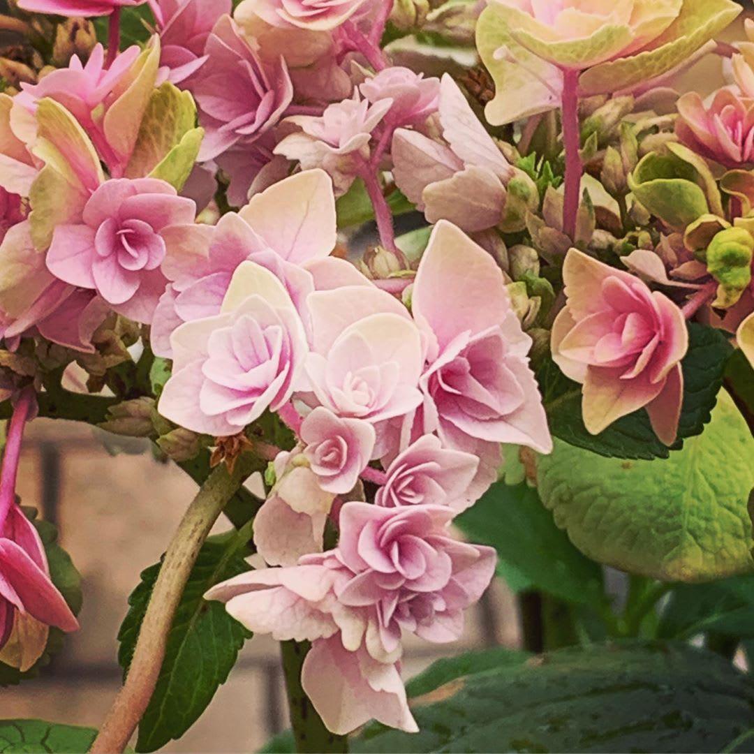 @maniju_moon_078さんの声<br>「悩んだのは、枯れかけた花びらを、いつ取ればいいのか?」