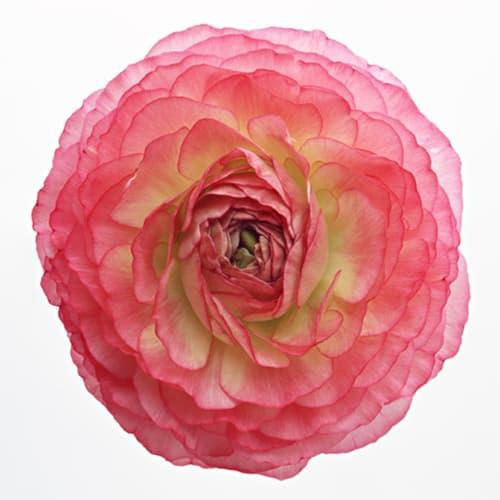 【花言葉】「とても魅力的」「華やかな魅力」