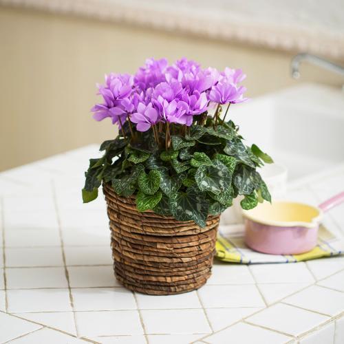 自然開花 ミニシクラメン「セレナーディア・ライラックフリル」鉢植え
