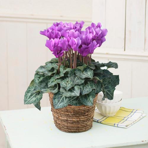 自然開花 ミニシクラメン「セレナーディア・アロマブルー」鉢植え<br>  7,700円(税込)