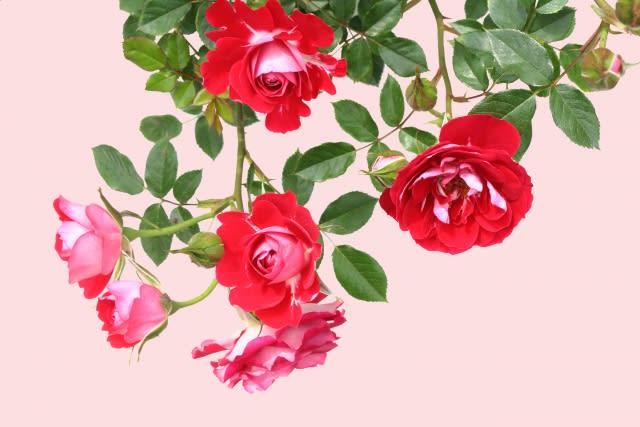 大切な人の誕生日に素敵なバラを贈りましょう