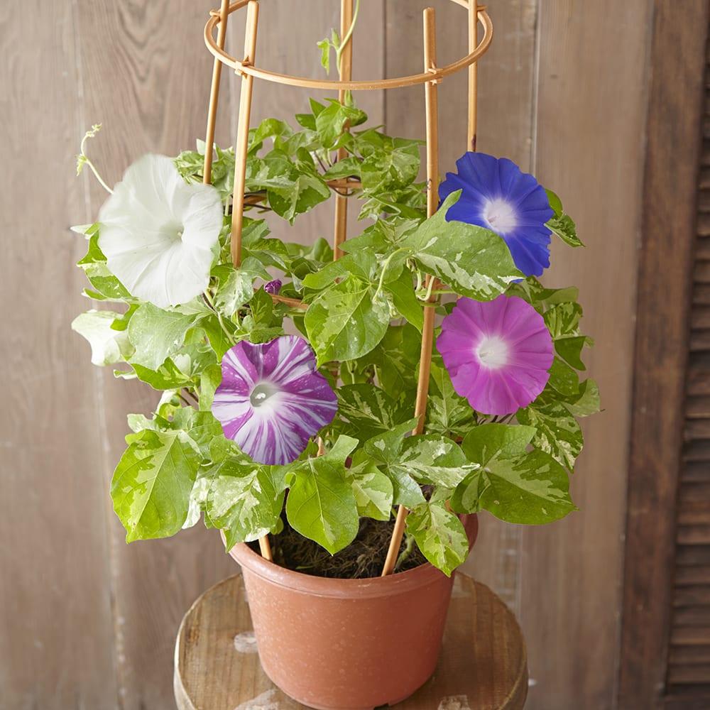 4色咲き朝顔 鉢植え<br>開花時期:7月<br>花言葉『はかない恋』『固い絆』