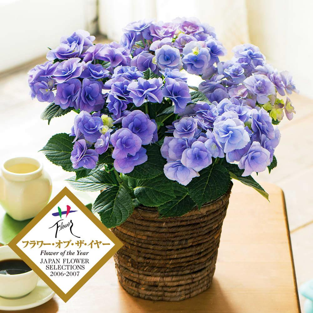 お花を観賞し、育てる楽しみを長く感じてほしいと願うなら、やっぱり鉢植えがオススメ。ガーデニングが好きなお母さんにぴったりのプレゼントです。<br /><br />【父の日ギフト】アジサイ「フェアリーアイ」(ブルー)