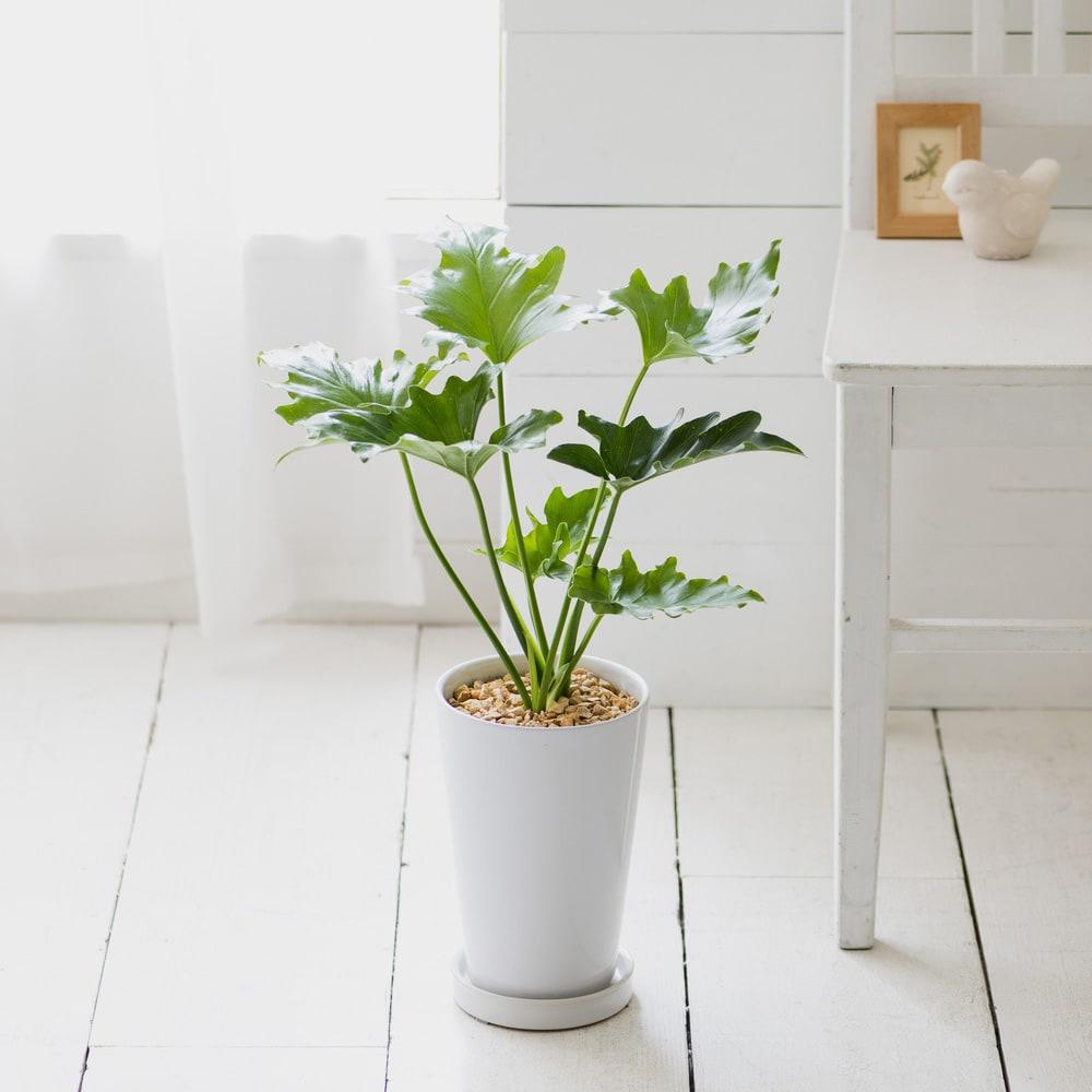 観葉植物 ・ フィロデンドロン・セローム