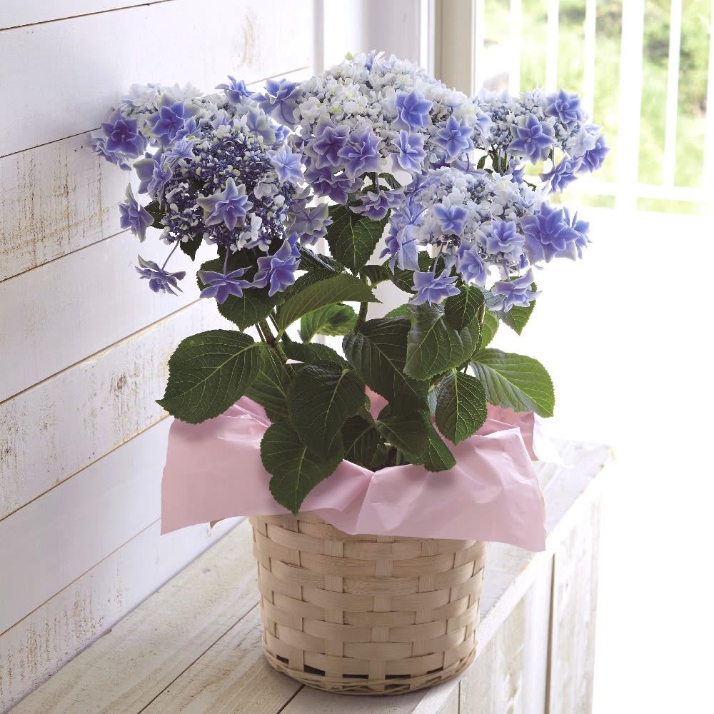 【母の日ギフト】八重咲きガクアジサイ「銀河」