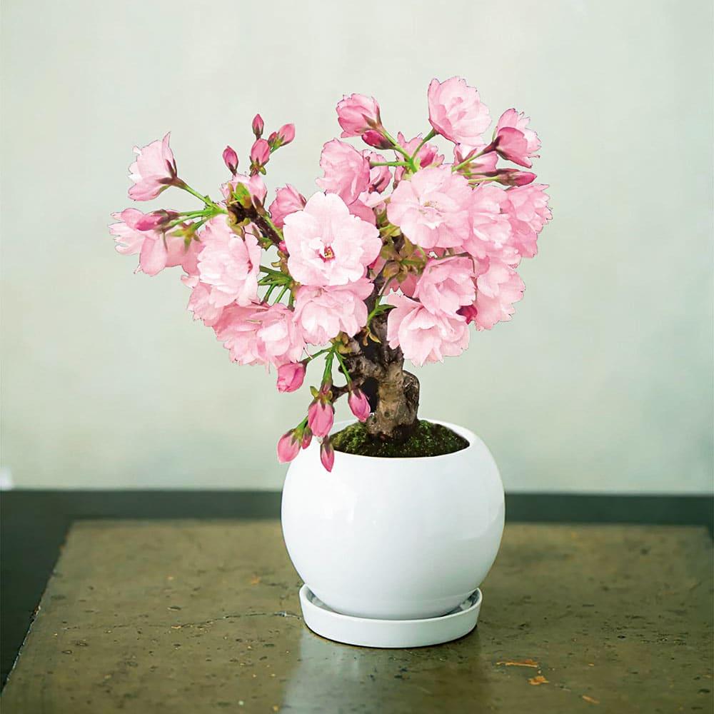桜盆栽 「旭山(あさひやま)」【年明けお届け】