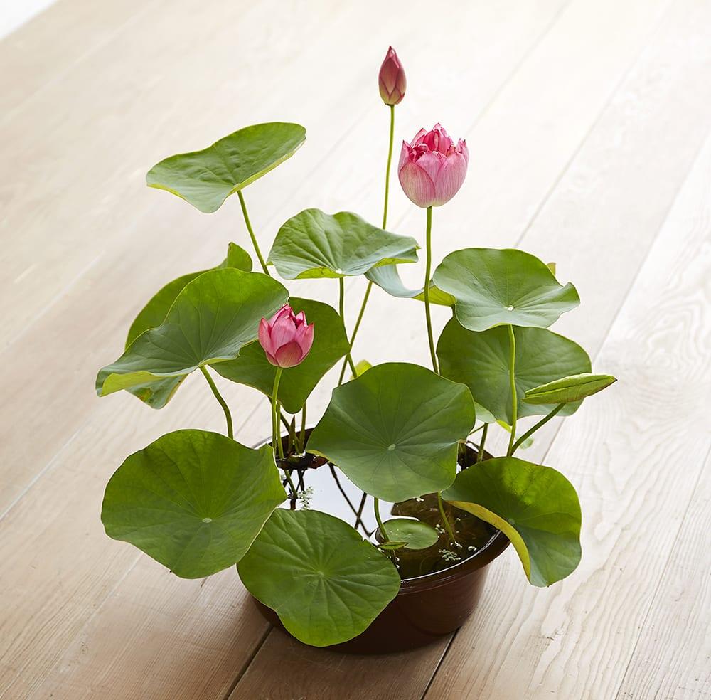 茶碗蓮(チャワンハス)<br>開花時期:7月<br>花言葉『雄弁』