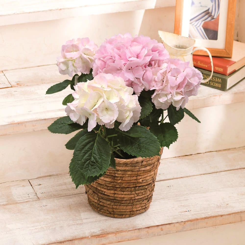 さかもと園芸の色が変わる 桜色アジサイ「ベイビークミコ」