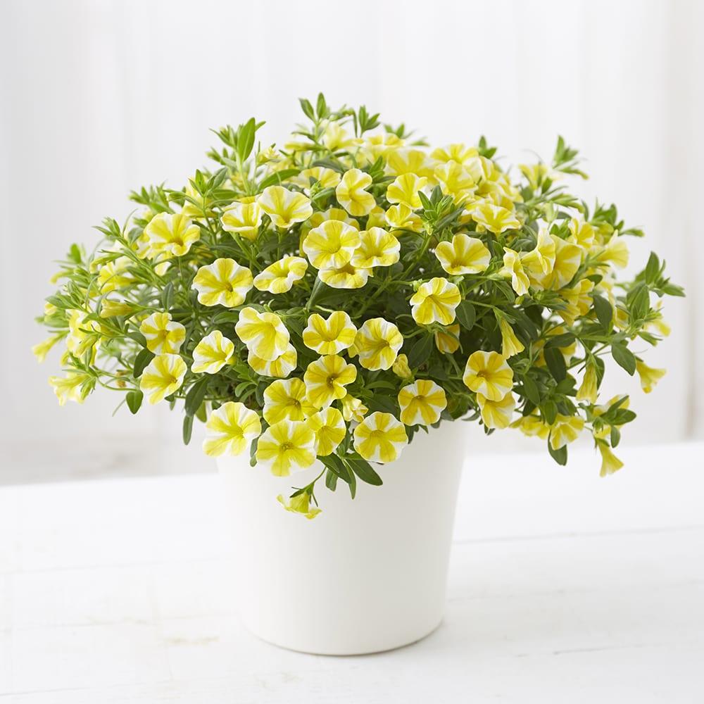 【母の日ギフト】カリブラコア「レモンスライス」