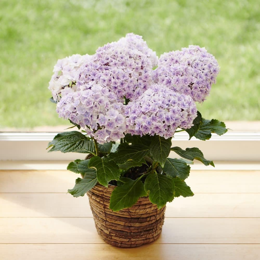 【母の日ギフト】八重咲きアジサイ「プリンセスシャーロット」(ピンク系)