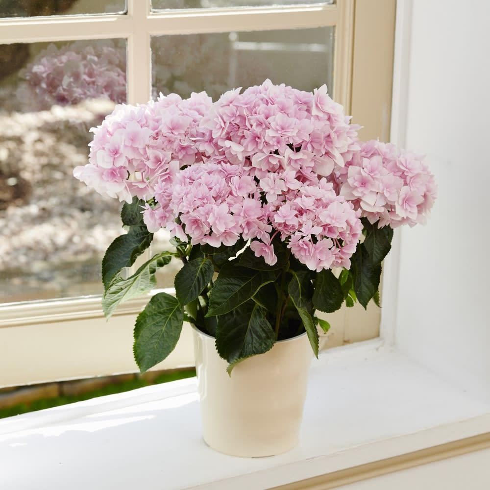 【母の日ギフト】さくらピンクがカワイイあじさい「ふわり」
