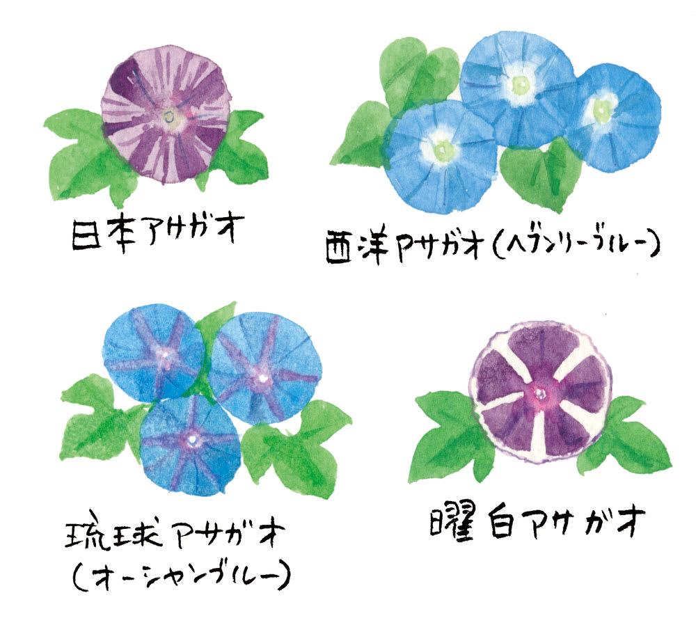 花 の つくり アサガオ の