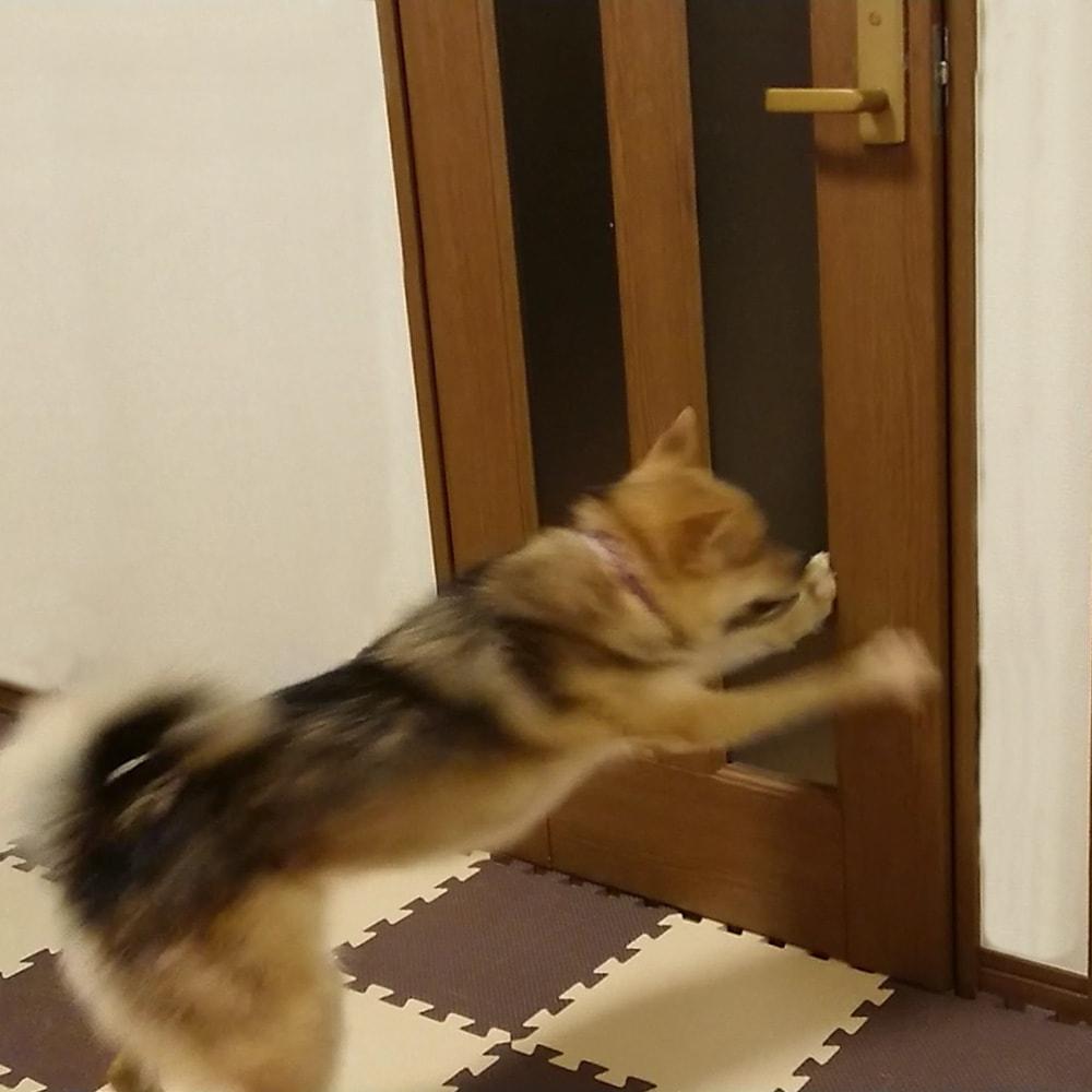 ペット用ドア開閉アイテム「わんにゃんフリーパス」 ひっかけて開けるだけではありません。反対側からは軽くドアを押すだけで…