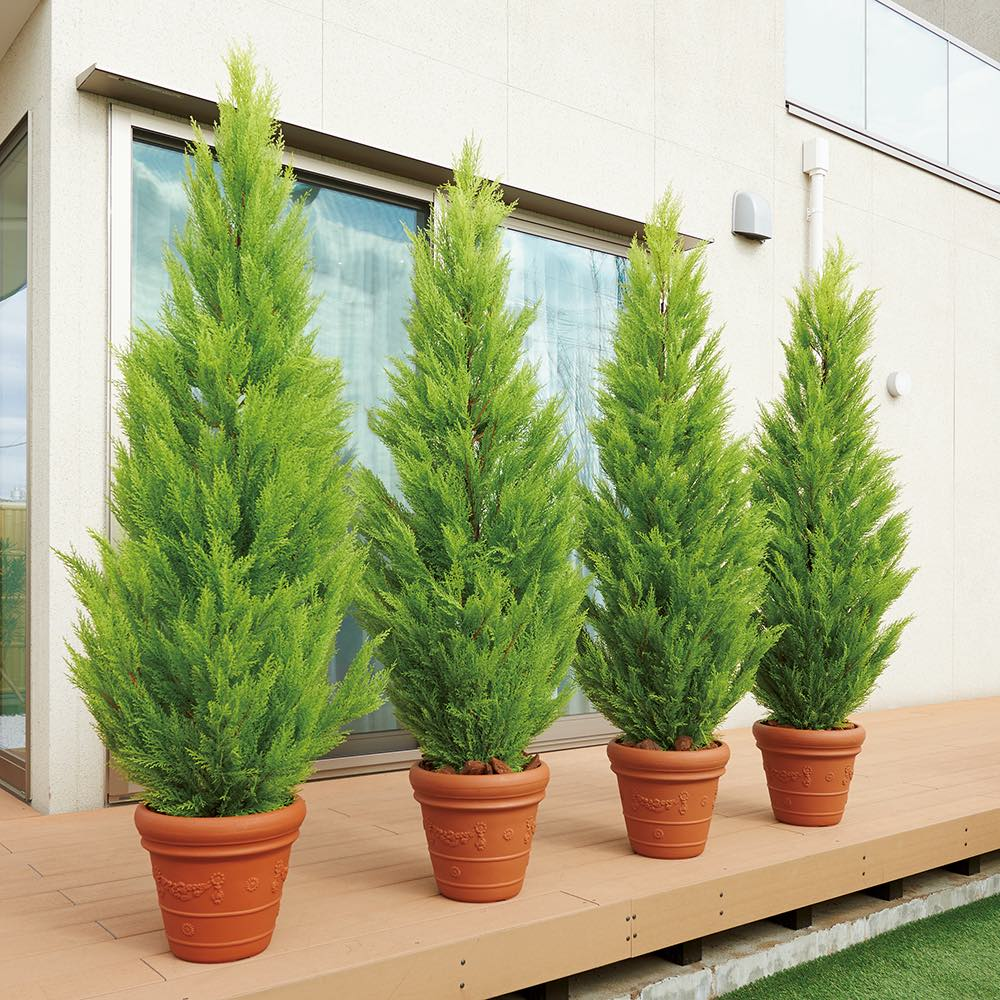 人工観葉植物ゴールドクレスト 高さ160cm [イメージ] 複数本並べて置けば生け垣風の目隠しにも。※お届けは高さ160cmの商品になります。