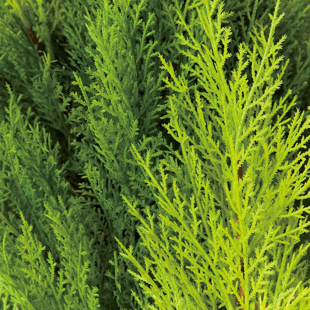 人工観葉植物ゴールドクレスト 高さ160cm お得な2本組 色合いの違う3色の葉をミックス。