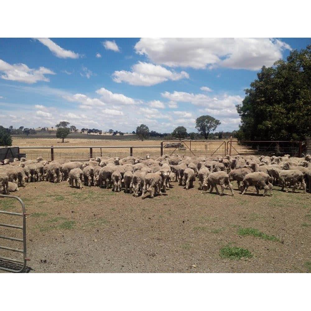 ムートンと錯覚するほどなめらか肌ざわり ジロンウール ニューマイヤー毛布 世界最大のウール生産国オーストラリアでも、特に上質なウールの産地であるジロン地方の稀少で高級なジロンウールを使用。