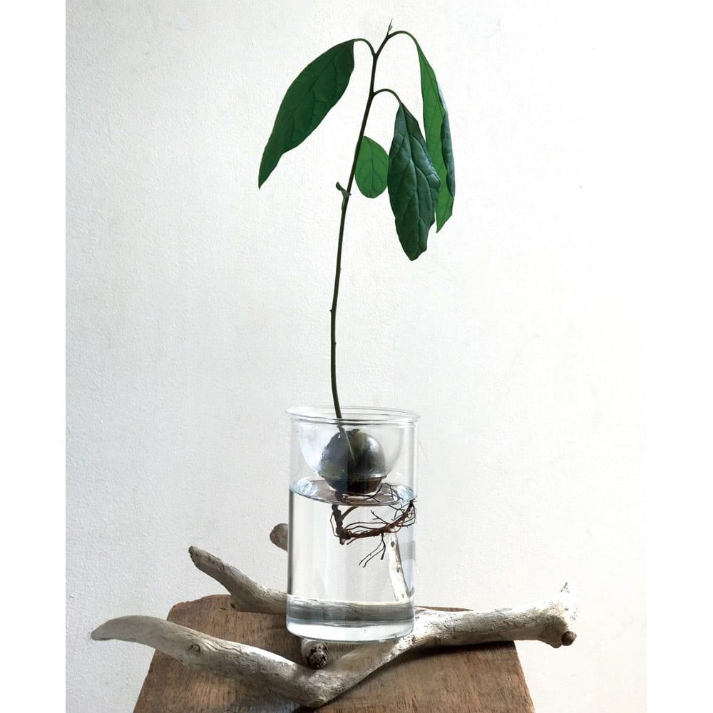 バルブベース大2中2 4点セット アボカドを種から育てても。