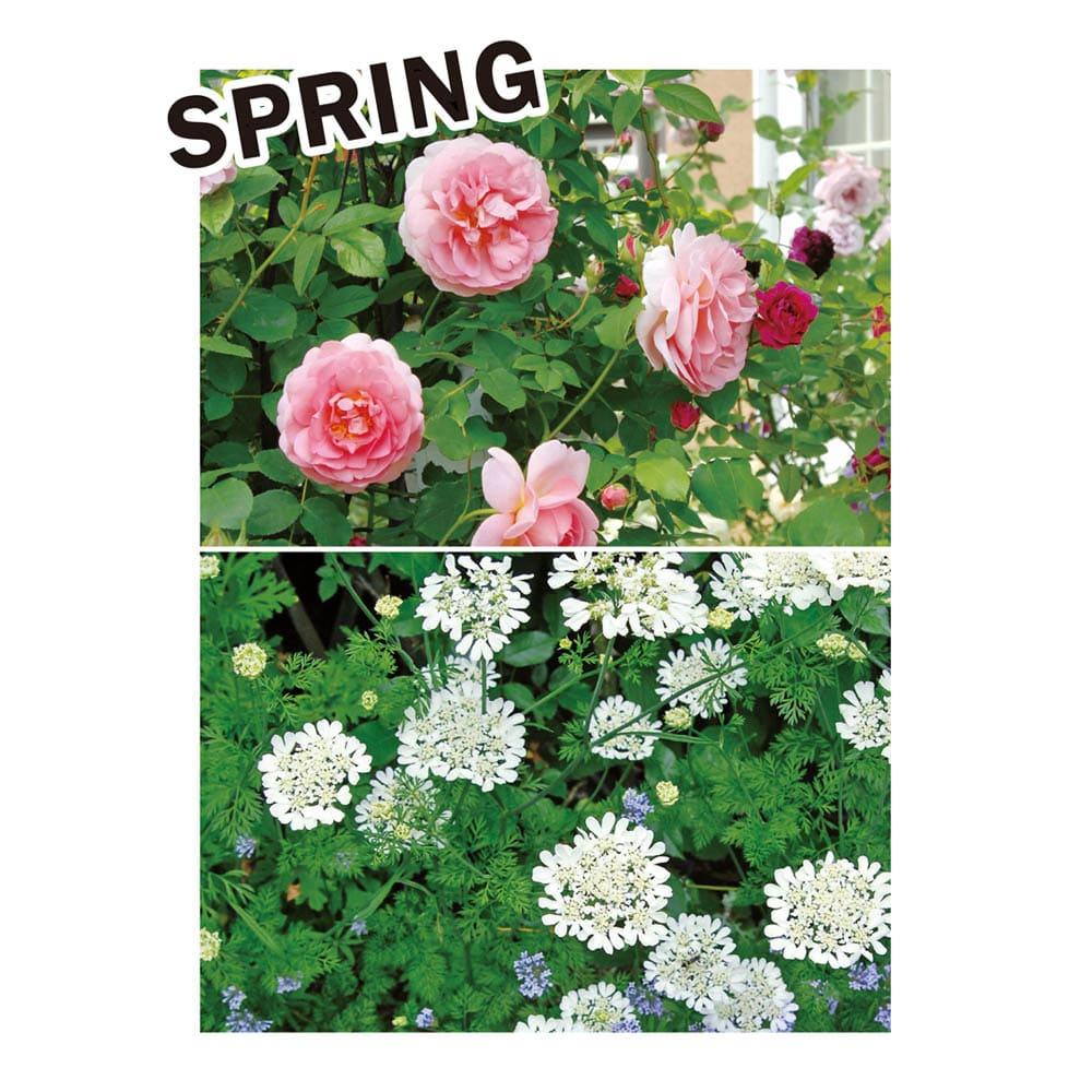 カナダ製ラバーエッジングシリーズ 1段 幅120cm おすすめのナチュラル植栽コーディネート:あこがれのバラを主役に足元には楚々としたオルラヤを。バラと花期が揃うジギタリス、クレマチスを合わせて華やかに。