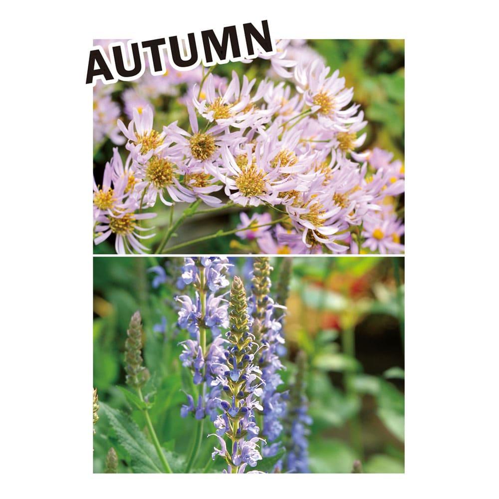 カナダ製ラバーエッジングシリーズ 1段 幅120cm おすすめのナチュラル植栽コーディネート:晩夏から秋まで長く楽しめるアスターやサルビアが活躍。色づく葉が美しいコリウスやグラス類で秋の風情を演出しても。