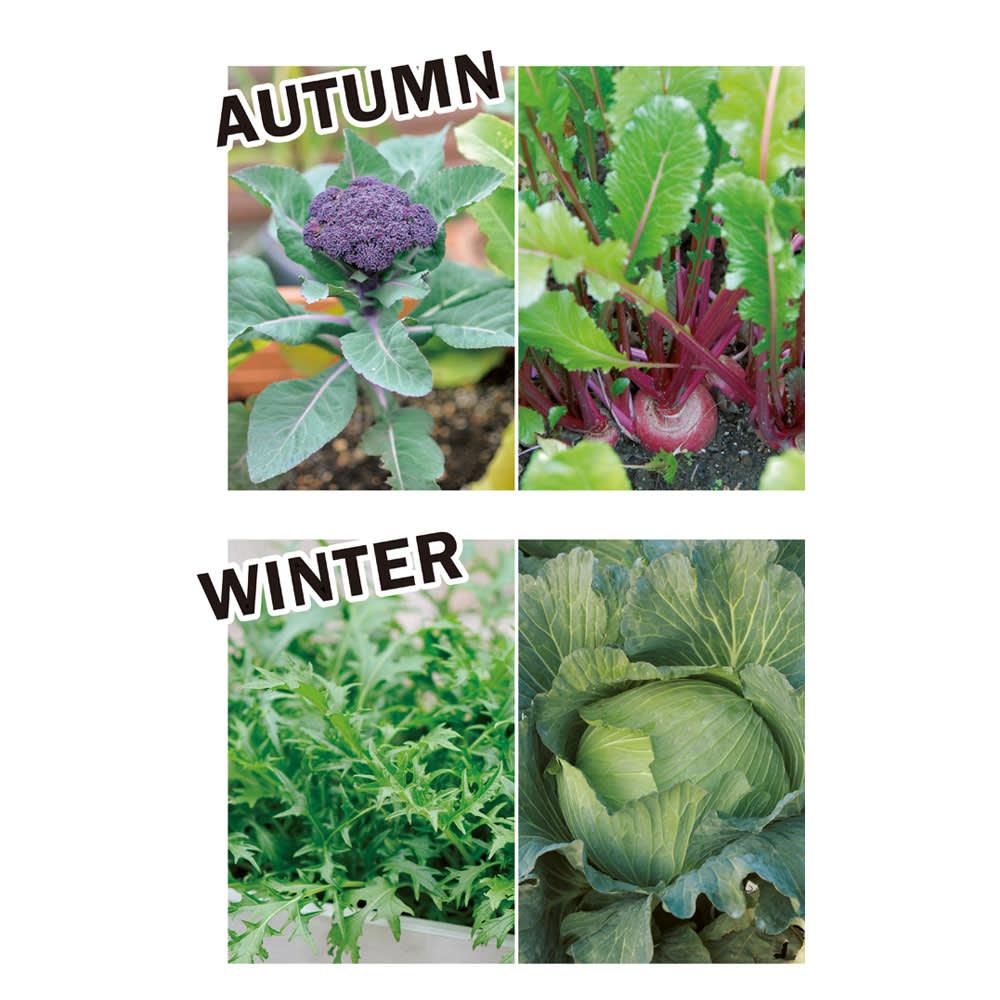 菜園プランター ベジトラグ 省スペースサイズS 季節別にベジトラグにおすすめの植物を紹介します。[秋]大きな葉が存在感のあるブロッコリーやカリフラワーをメインに。株間にはカブやコマツナを。[冬]ミズナやキャベツ、ミニハクサイ、ワサビナなど葉もの野菜が旬。葉色や形の違いで変化をつけて。