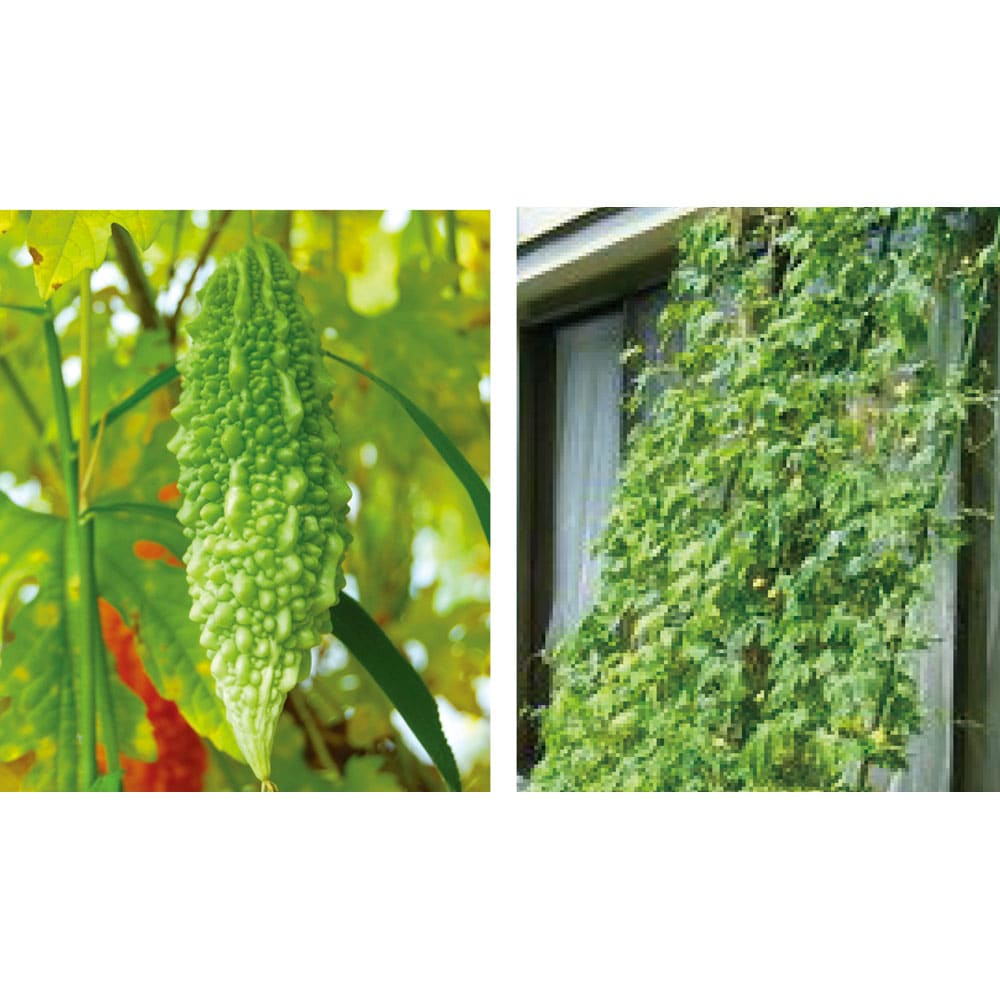 アイアングリーンカーテン プランター台付き 可憐なフウセンカズラや、人気のゴーヤ栽培も。