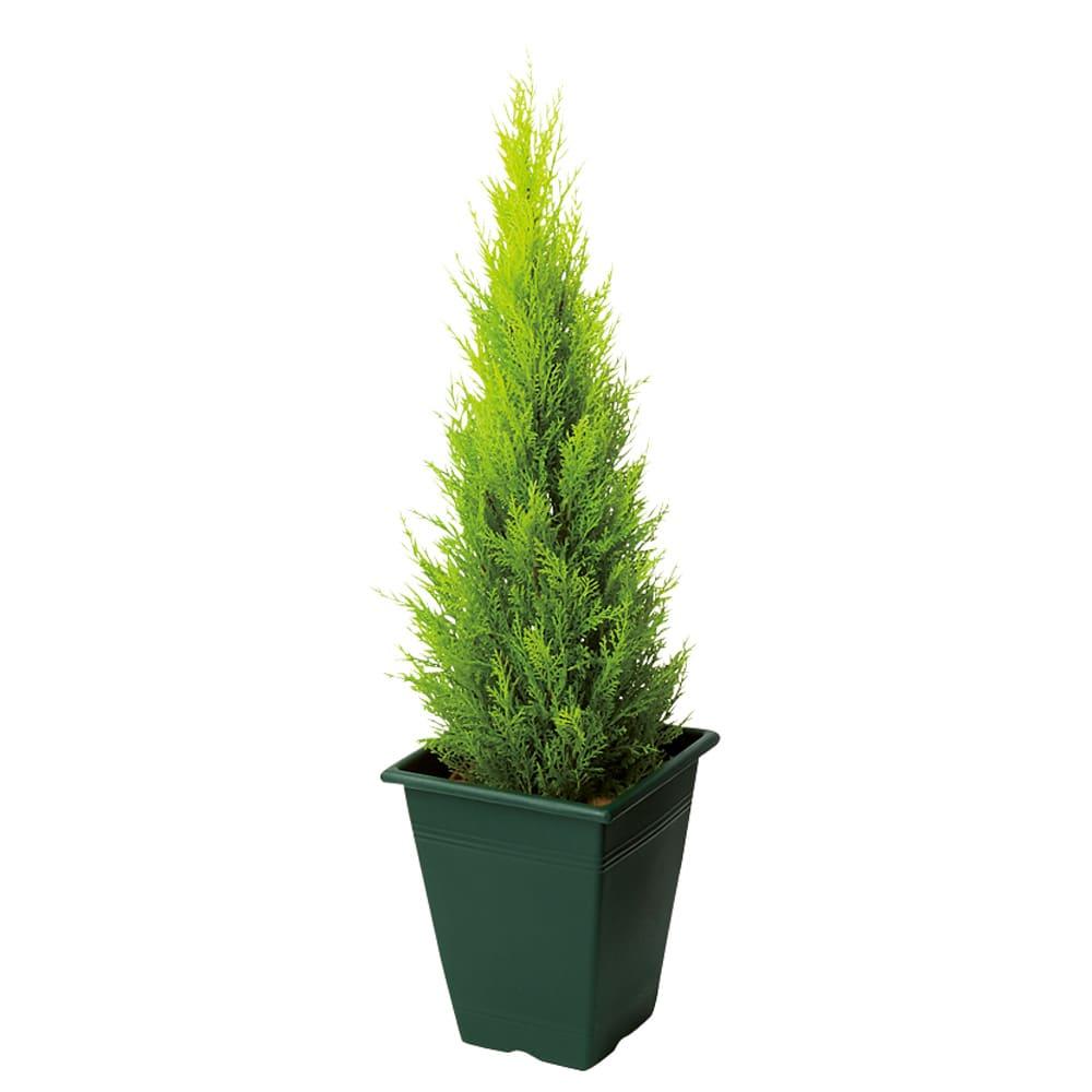 高さ90cm(人工観葉植物ゴールドクレスト) ※写真は高さ90cmタイプです。 ※お届けの鉢のデザインは若干異なります。
