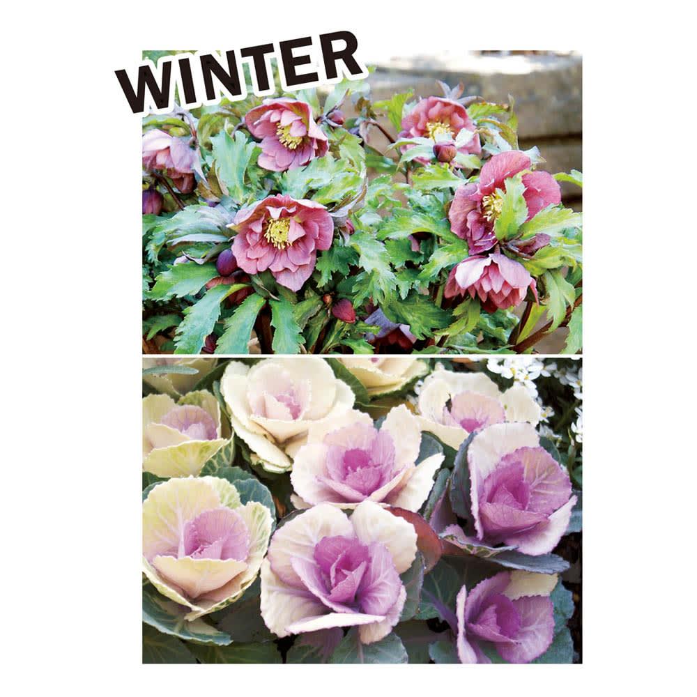 カナダ製ラバーエッジングシリーズ 1段 お得な3個組(幅120cm×3個=360cm分) おすすめのナチュラル植栽コーディネート:花の少ない冬におすすめなのはクリスマスローズやパンジー、ビオラ。葉色が美しく、鑑賞期が長いハボタンも重宝します。