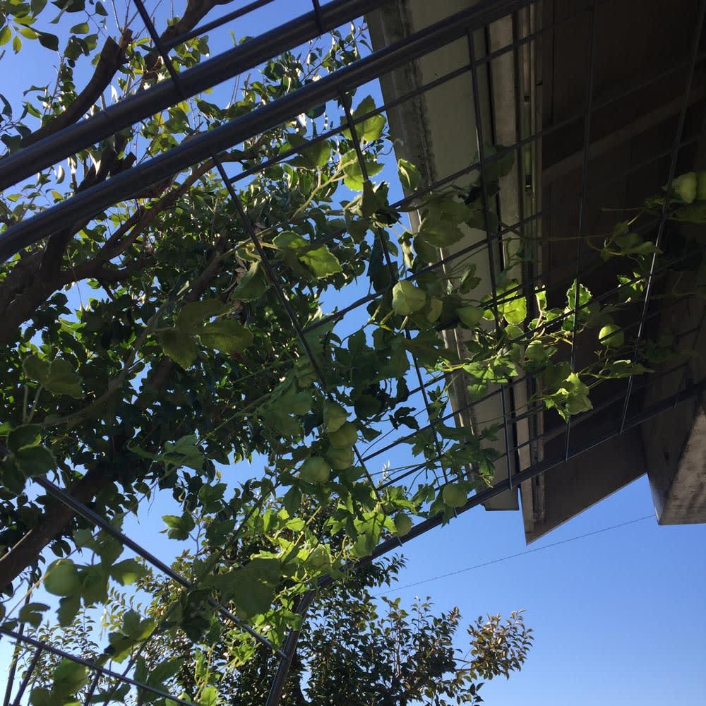 アイアングリーンカーテン〈奥行広々ハイタイプ〉 グリーンカーテン お得な2枚セット 上部までたっぷり植物が絡みます。