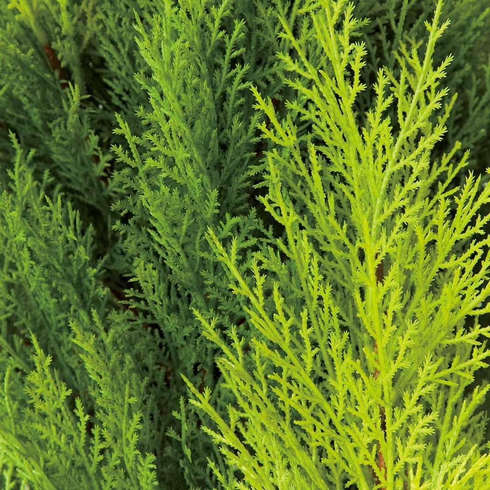 高さ180cm(人工観葉植物ゴールドクレスト) 色合いの違う3色の葉をミックス。