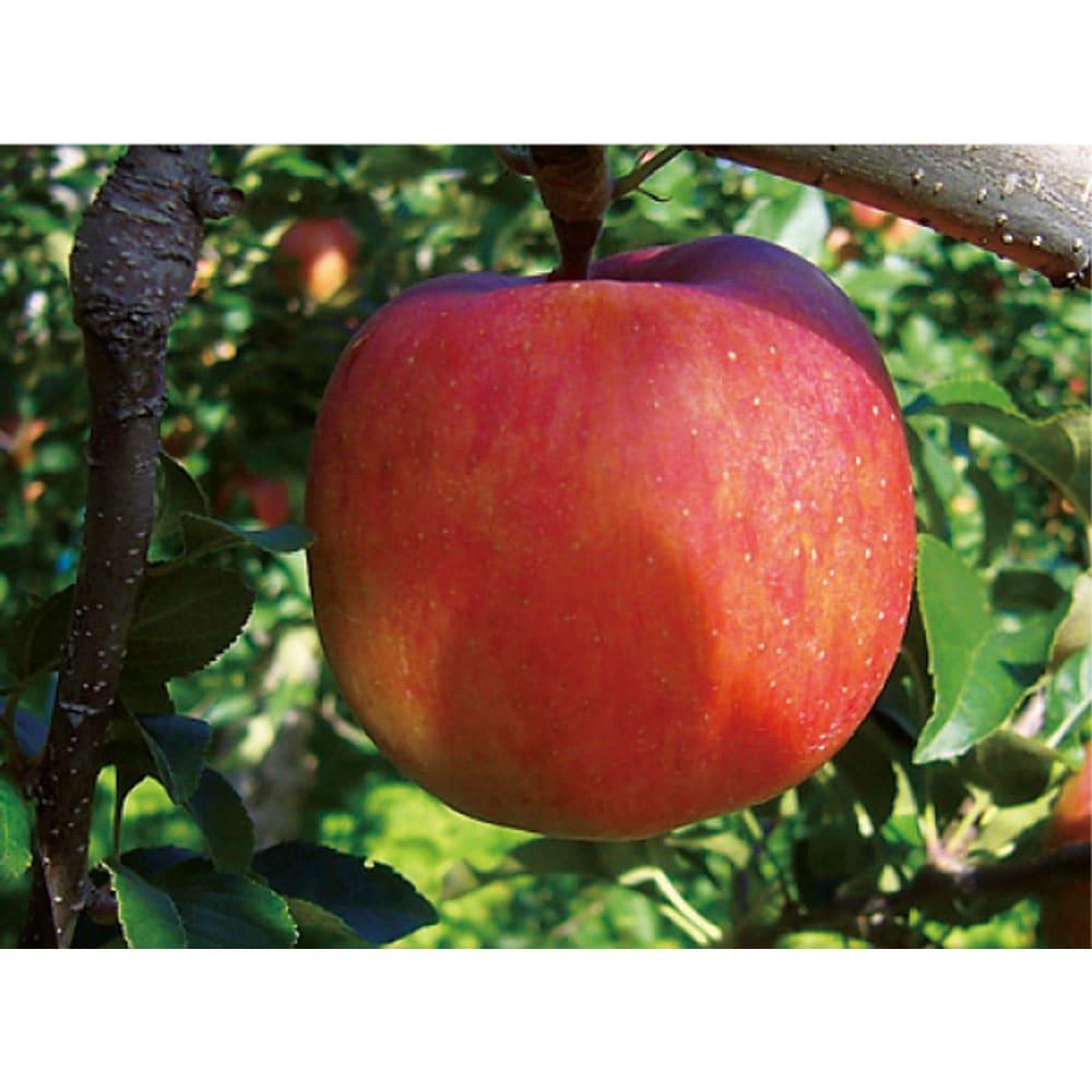 青森産 りんご「こみつ」 (約2kg) 敢えて葉摘みをせずに光合成を促し、実に養分を蓄えます。