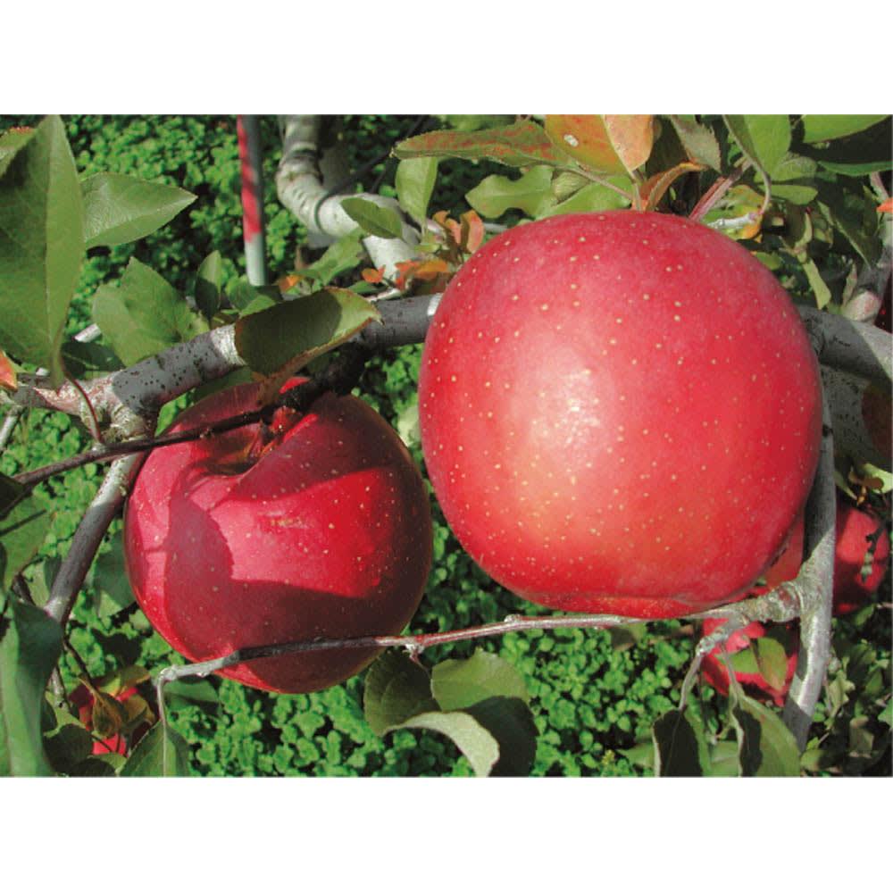 岩手・江刺産 サンふじりんご (約3kg) りんごの産地江刺のりんご園。完全無袋栽培にこだわり、糖度が高く、鮮やかな赤色が美しい「サンふじ」を長年作り続けています。