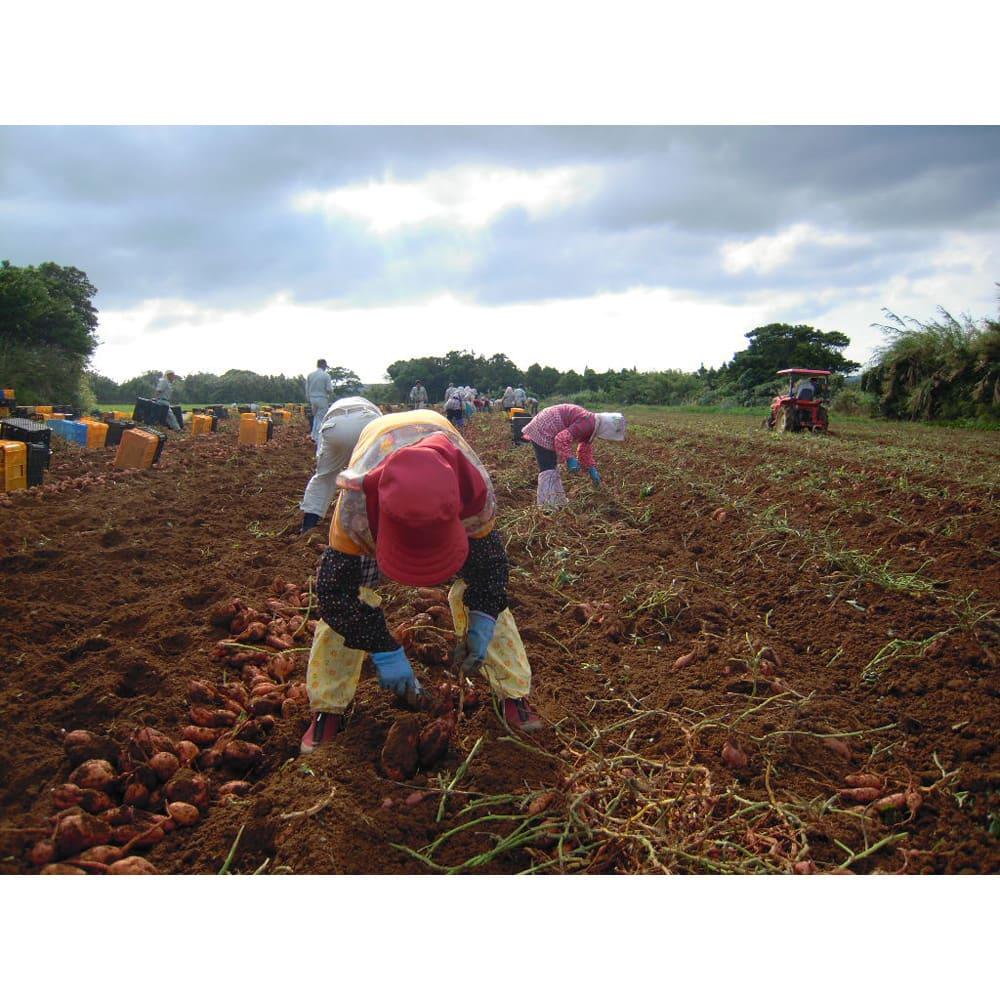 種子島産 石蔵貯蔵「安納紅蜜芋」 (5kg) 美味しい芋は「土壌」で決まる!そこで西田農産では堆肥を自社で作るなど土壌を徹底管理