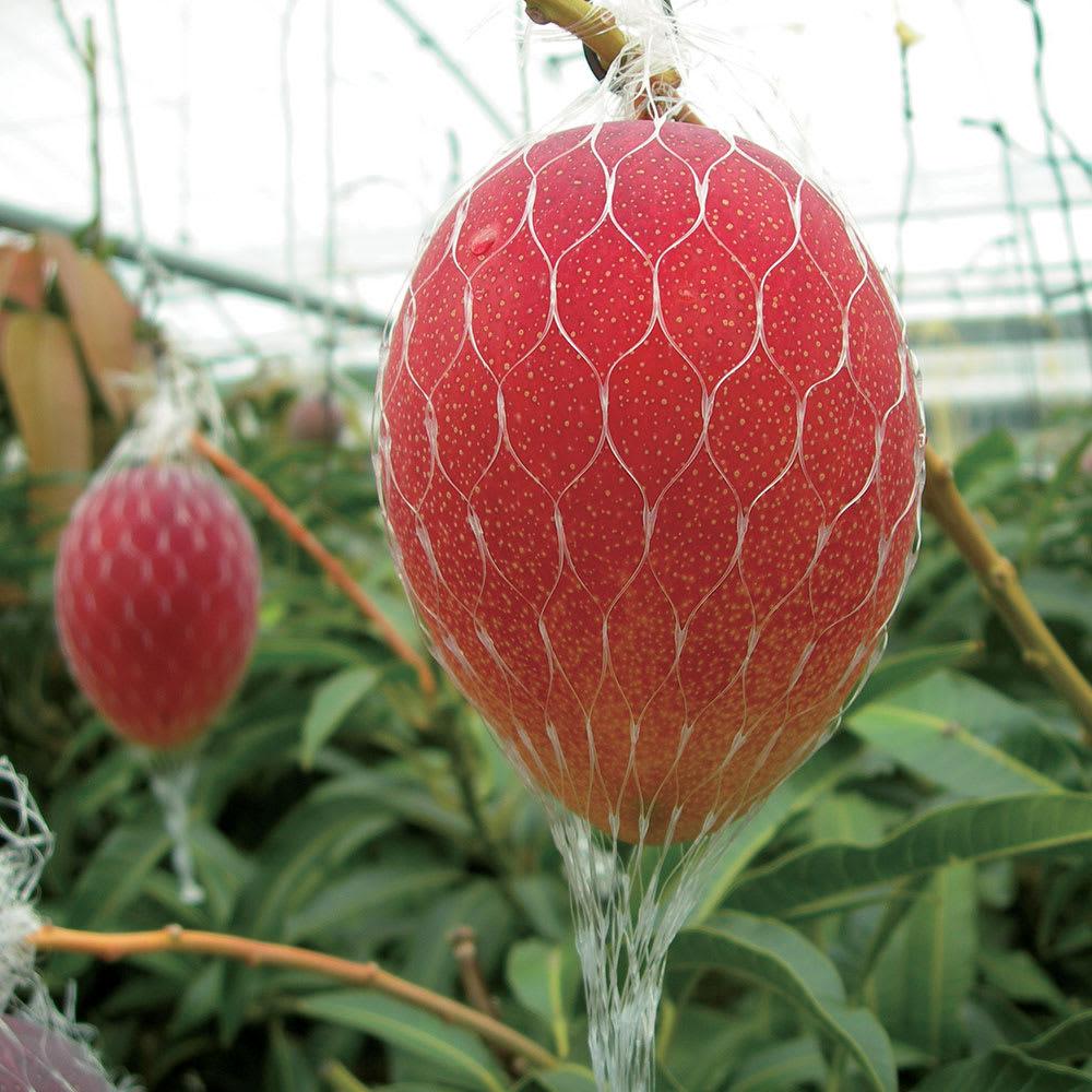 宮崎県産 ワケありマンゴー (約1.4kg) 完熟して自然落果する果実をネットで受け止めます。