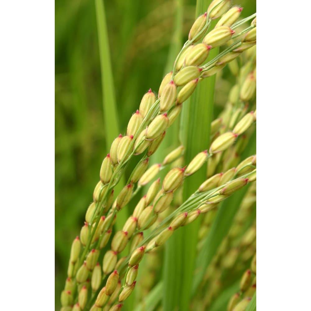 長兵衛玄米 (1kg×3袋) 【お得な定期便】 収穫まであとわずかの長兵衛玄米の稲穂。