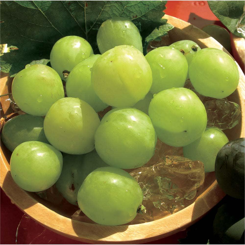 岡山産 桃太郎ぶどう (700g) フルーツ