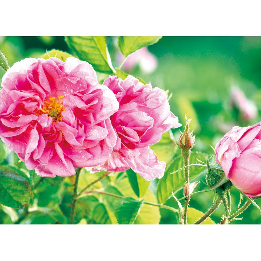 ビクトリアローズDX(デラックス) 200粒 約2,600本のバラから1ccしか採取できないブルガリア産のダマスクスローズオイルを配合しています。