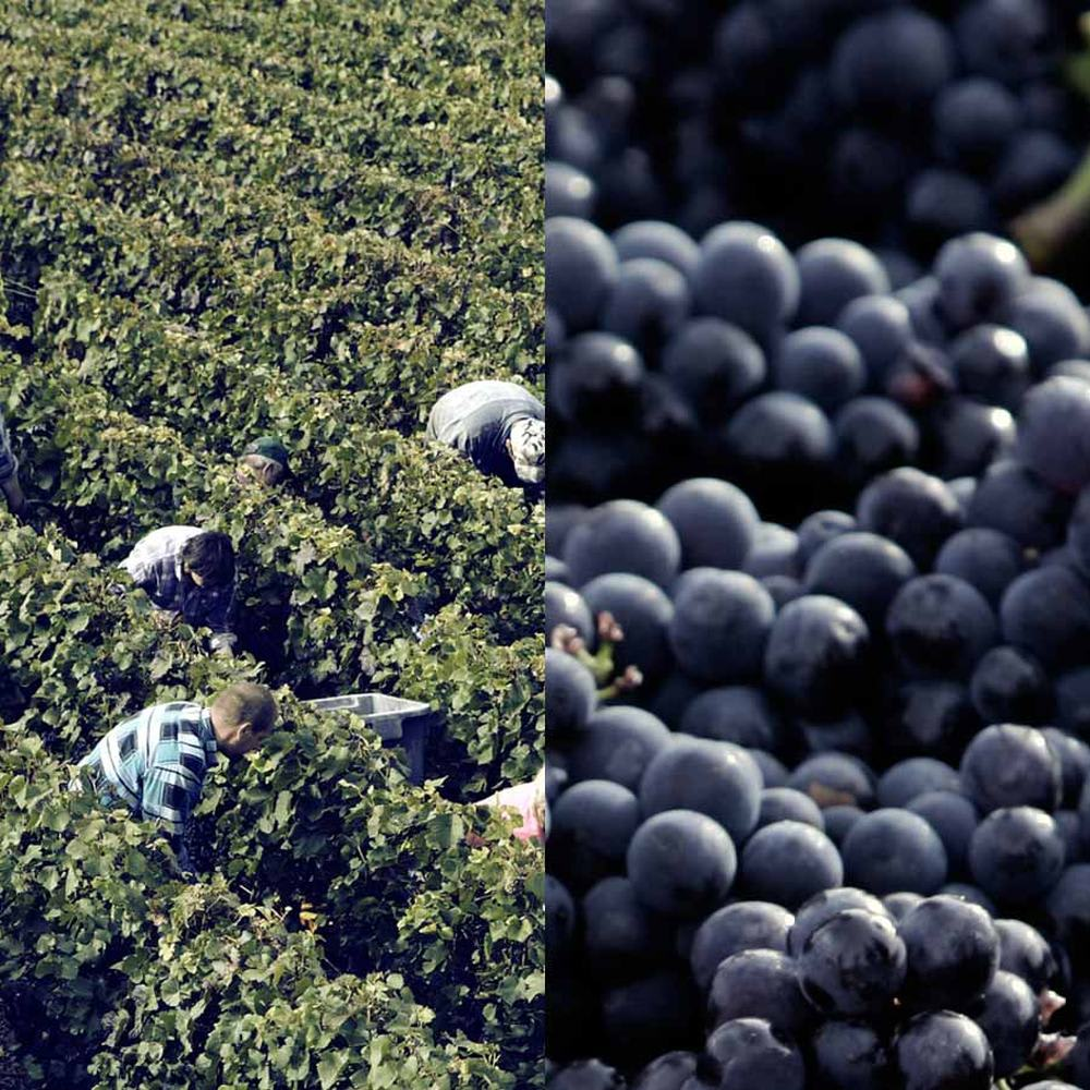 ジョセフペリエハーフボトル グラス2客付ミモザスペシャルセット ジョセフ・ペリエのぶどう収穫風景。