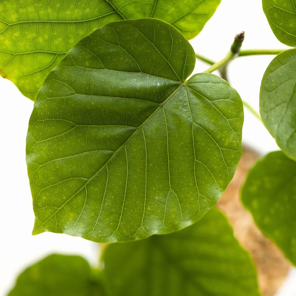 観葉植物 ・ フィカス・ウンベラータ 0