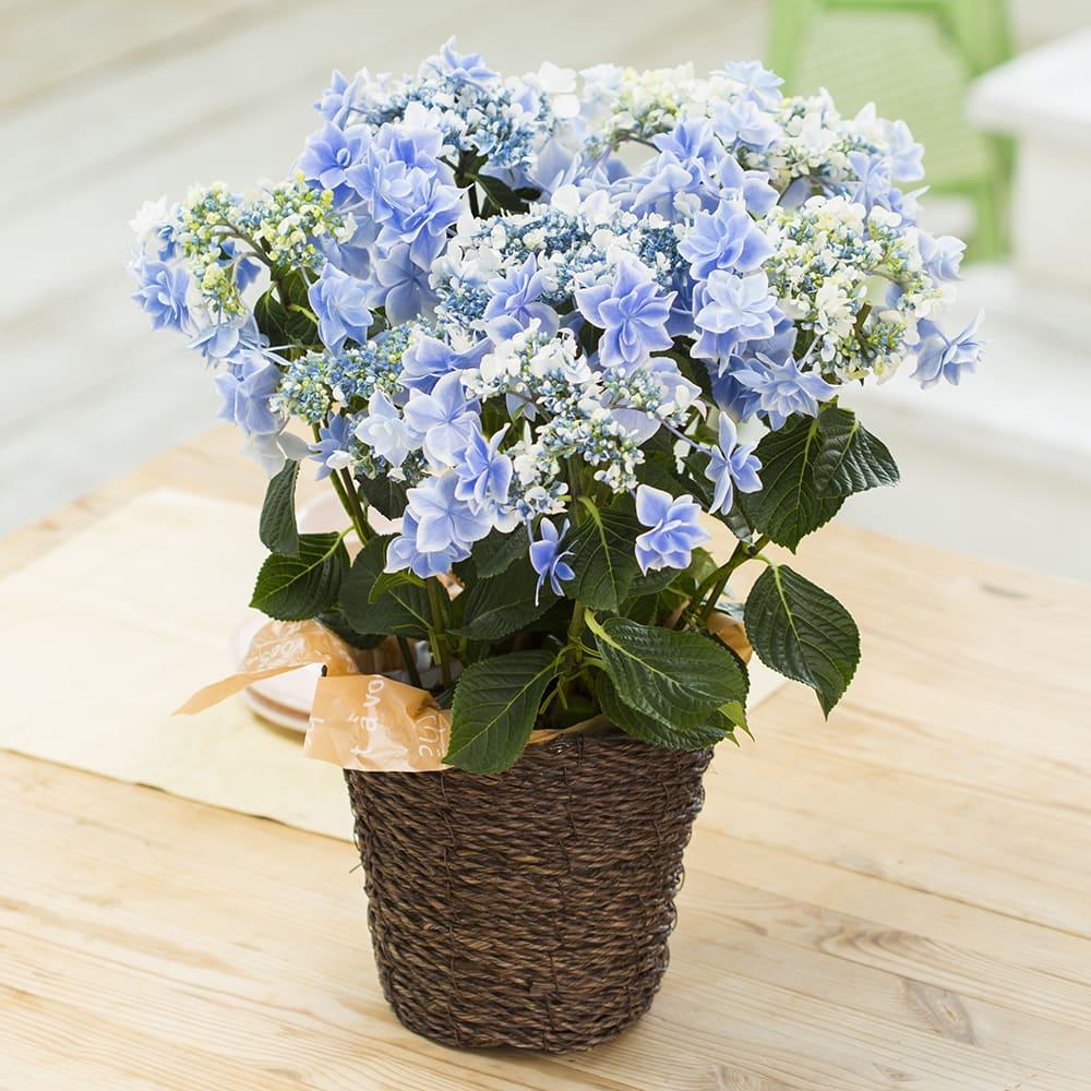 【父の日ギフト】八重咲きガクアジサイ「銀河」 鉢花・鉢植え