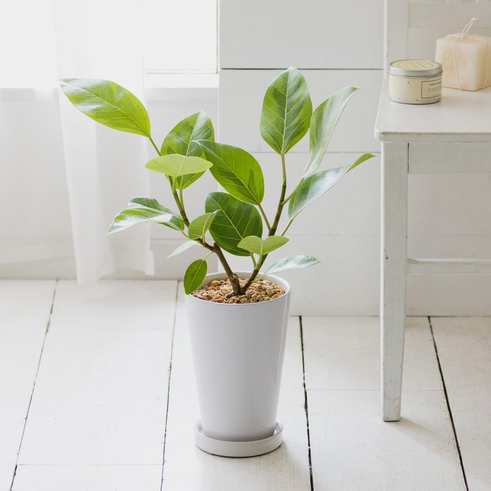 観葉植物 ・ フィカス・アルテシーマ
