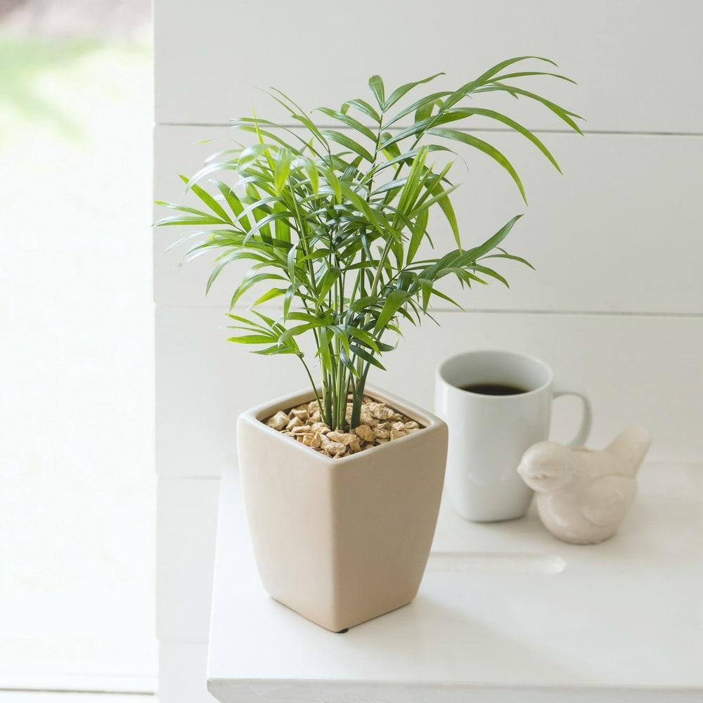 観葉植物 ・ テーブルヤシ 鉢花・鉢植え