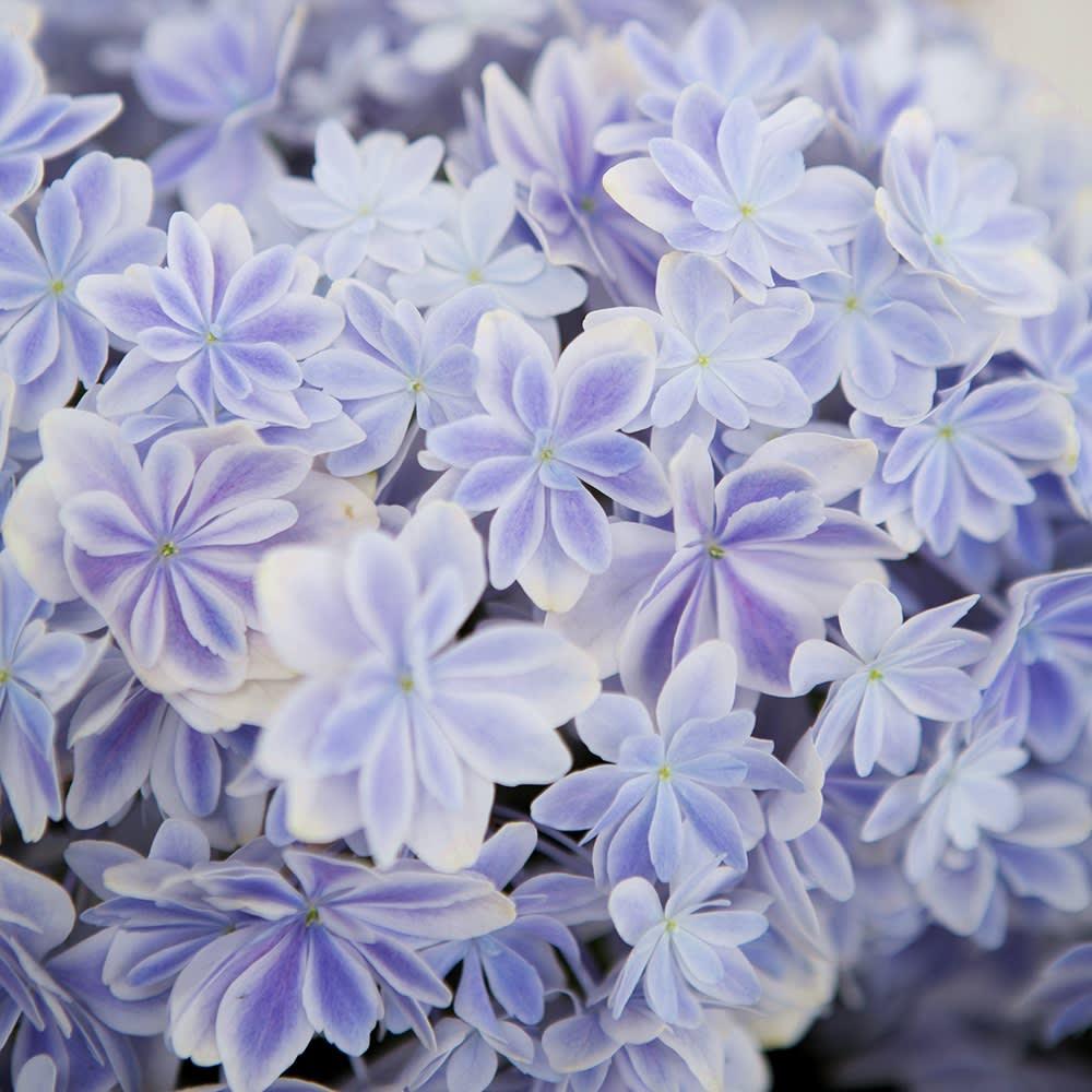 【母の日ギフト】幾重にも重なった花びら アジサイ「万華鏡」